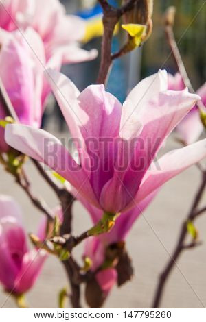 Branch of magnolia flowers spring photo nature