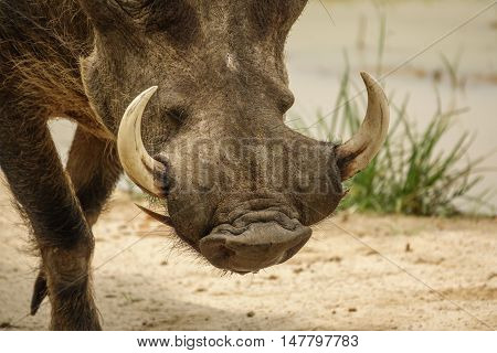 Closeup of common warthog head with tusks