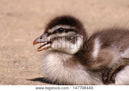 Baby duckling quacking for joy on a warm spring afternoon. Animal babies.