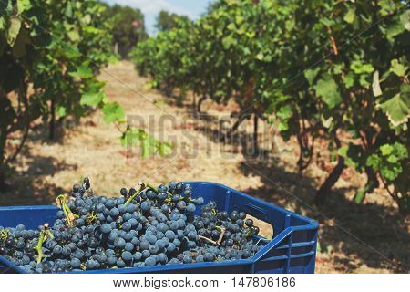 Bunches of purple red wine grapes in a blue tenter