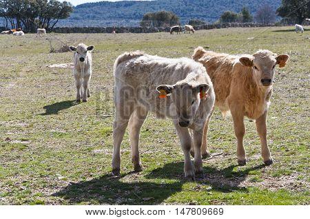 Calf grazing in a field in Guadarrama Mountains, Madrid, Spain