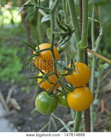 Small organic juicy tomatoes in my garden