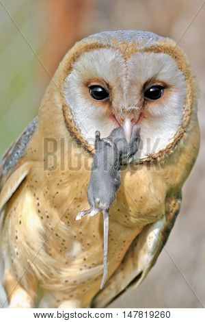 Barn Owl with mouse portrait close up