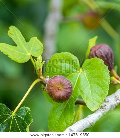 ripe figs on the tree ready for harvest