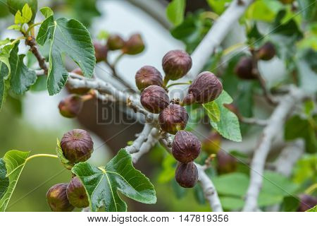 bunches of ripe figs on a fig tree