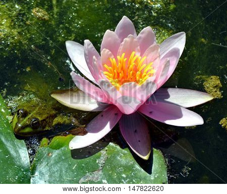 Marsh frog floating on the water with waterlilly