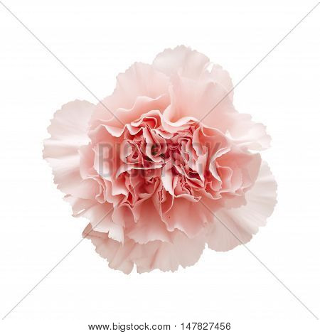 Gentle Pink Carnation Flower