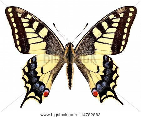 Isolated swallowtail butterfly