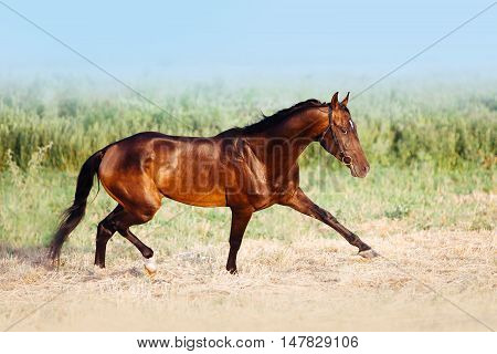 Beautiful bay stallion galloping trotting across the field on a background of blue sky