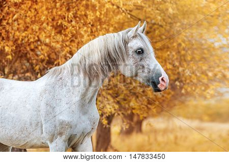 Beautiful expressive portrait of a white stallion Arabian breed. Head of a horse on a yellow background autumn