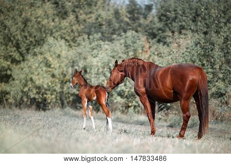 Big, beautiful brown horse gets acquainted with a small colt, who two days old. Mare and foal in the field on a background of trees