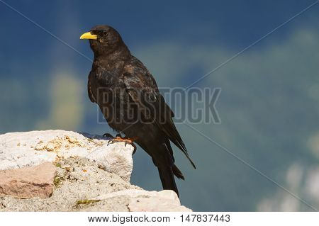 Closeup on alpine chough or yellow-billed chough bird