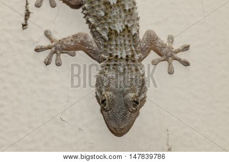Gray house Gecko living inside a European house