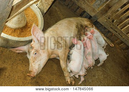 A Sow With Suckling Piglets