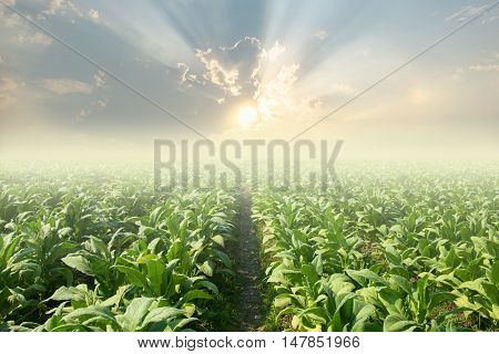 tobacco field and sunset background. tobacco field.