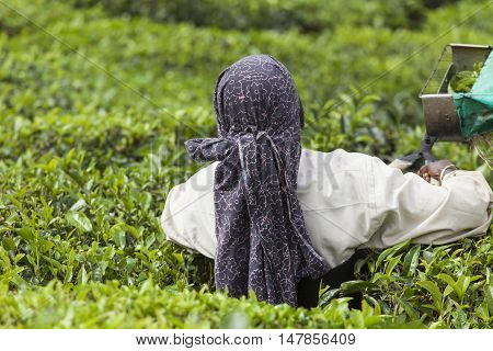 MUNNAR INDIA - DECEMBER 16 2015 : Woman picking tea leaves in a tea plantation Munnar is best known as India's tea capital. December 16. 2015 - Munnar Kerala India
