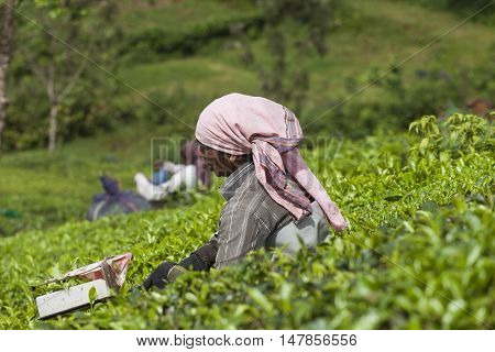 Munnar, India - December 16, 2015 : Woman Picking Tea Leaves In A Tea Plantation, Munnar Is Best Kno