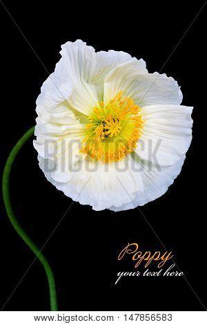 Poppy Flowers Isolated on black Background .