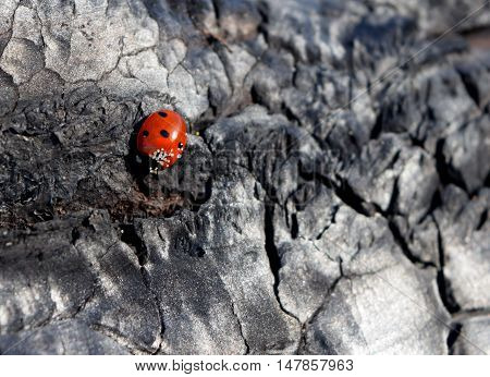 Small ladybird on the frayed tree. background