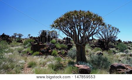 Quiver tree or kokerboom forest near Keetmanshoop Namibia