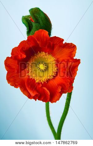poppies Isolated on white background.  floral ,