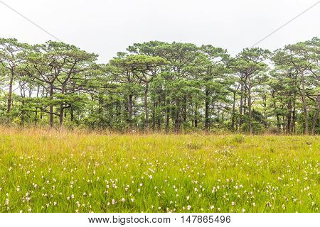 Landscape with pine forests and flower field