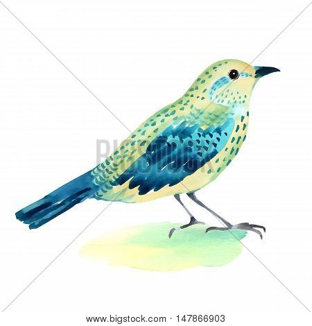Watercolor illustration of a bird  on white background. Hand painted vector illustration