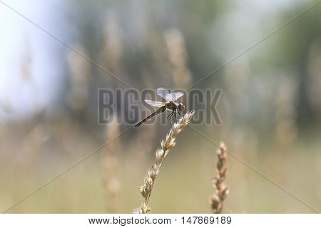 dragonfly sitting on summer meadow in a Sunny day