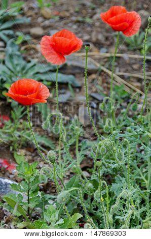 Bright red poppy or Papaver field near by, Giginski monastery, Breznik,  Pernik region, Bulgaria