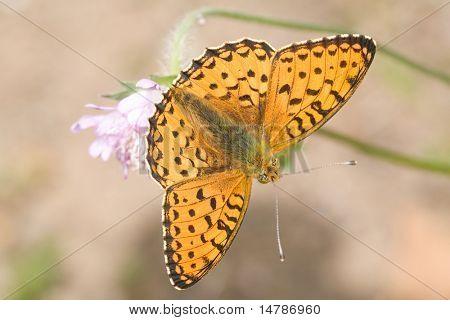 small orange butterfly on pink flower