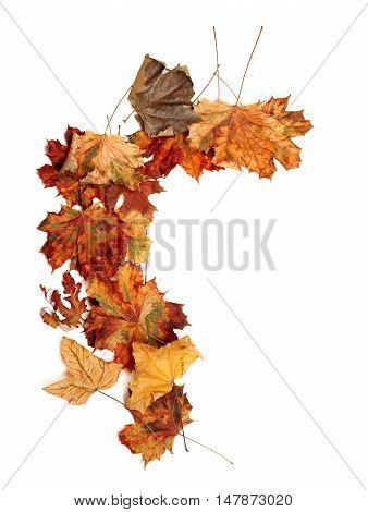 Autumn Dried Multicolor Maple Leafs