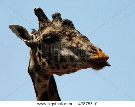 Giraffe with his tongue sticking out against the sky