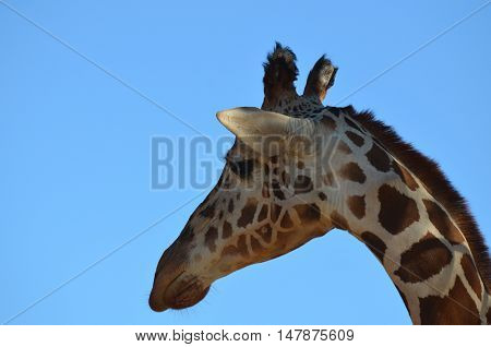 Great side view of a giraffe against a blue sky.