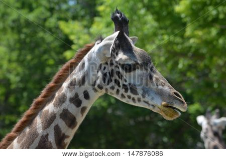 Great side view of a giraffe with a long neck