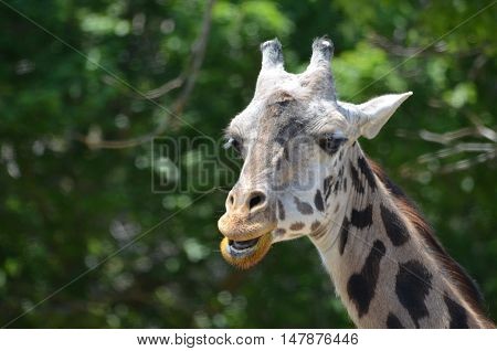 Great face of a giraffe with his mouth open.