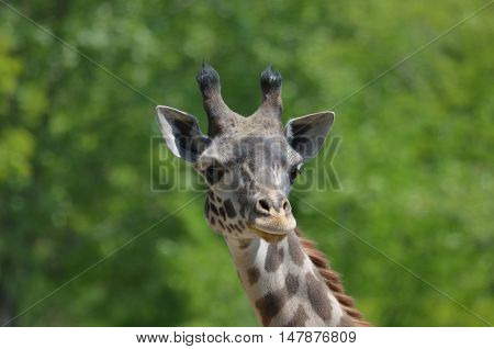 Great face of a giraffe looking around.