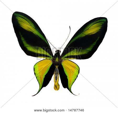 tropical yellow, black and green butterfly isolated on white background