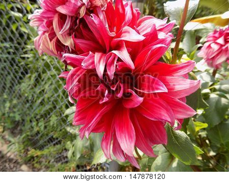 Two Large Pink Flowers Poking Through Fence