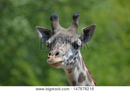 Cute face of a really great giraffe.