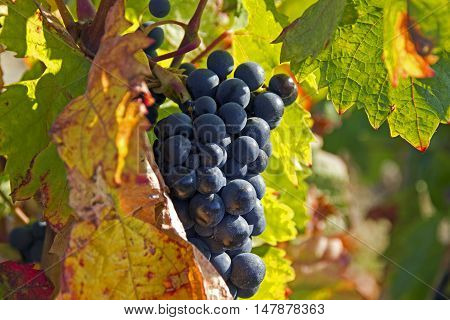 blue ripe grapes in the late autumn