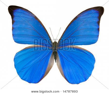 tropical blue butterfly isolated on white background