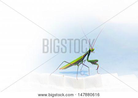 Mantis or Praying Mantis copyspace nature insect background
