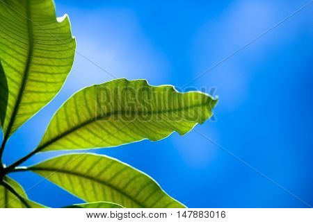 Close up leaf of mango tree with blue sky background