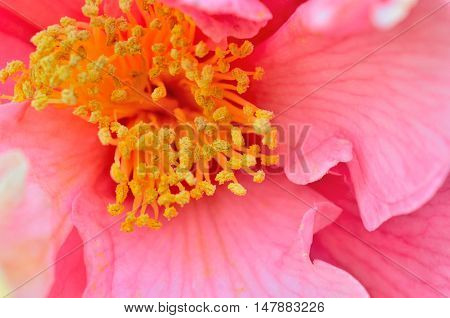 Pink blossom with center highlighted.  Pollen covering anther, yellow nectar.  Macro close-up of natures beautiful flower.