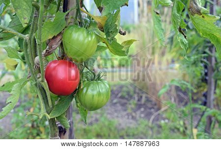 Beefsteak tomato, also known as beef tomato.