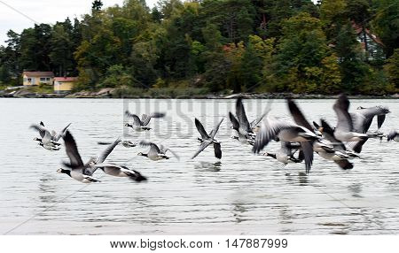 Group of Barnacle geese flying over the sea.