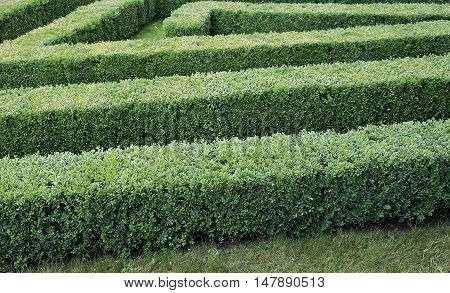 Green labyrinth of trimmed boxwood bushes in the parkс