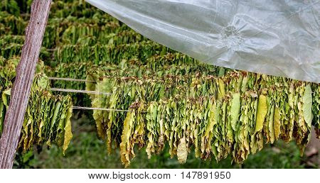 Picture Tobacco leaves drying in the classic way
