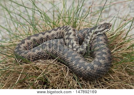 European viper (Vipera berus), also known as the European adder. Wildlife animal.
