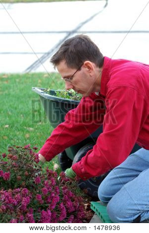 A Man Is Working In The Landscaping Garden, Pruning The Dead Flowers.